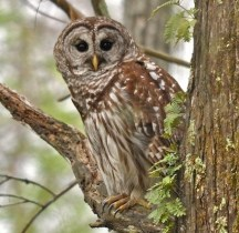 barred_owl_granthickey
