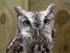 eastern-screech-owl-rlukes