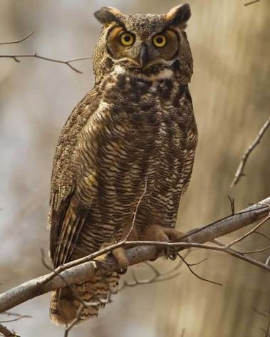 great_horned_owl_s36-36-026_l